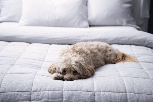 Dog sleeping on ash colour Belgium linen